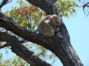 koala in Wild Maggnie Island