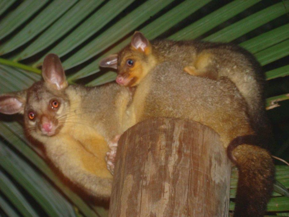 Mamma and Her Baby  Brushtail Possum