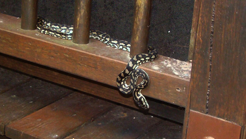 Snake on my veranda this morning.....Not sure what type?